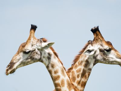 Two giraffes facing in opposite directions.
